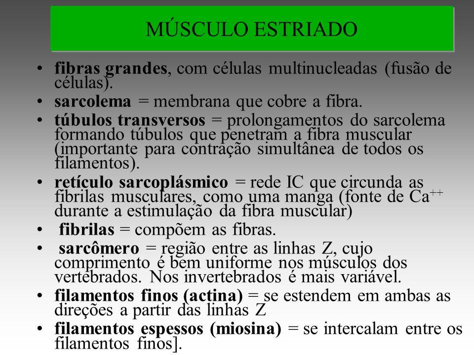 MÚSCULO ESTRIADO fibras grandes, com células multinucleadas (fusão de células). sarcolema = membrana que cobre a fibra.