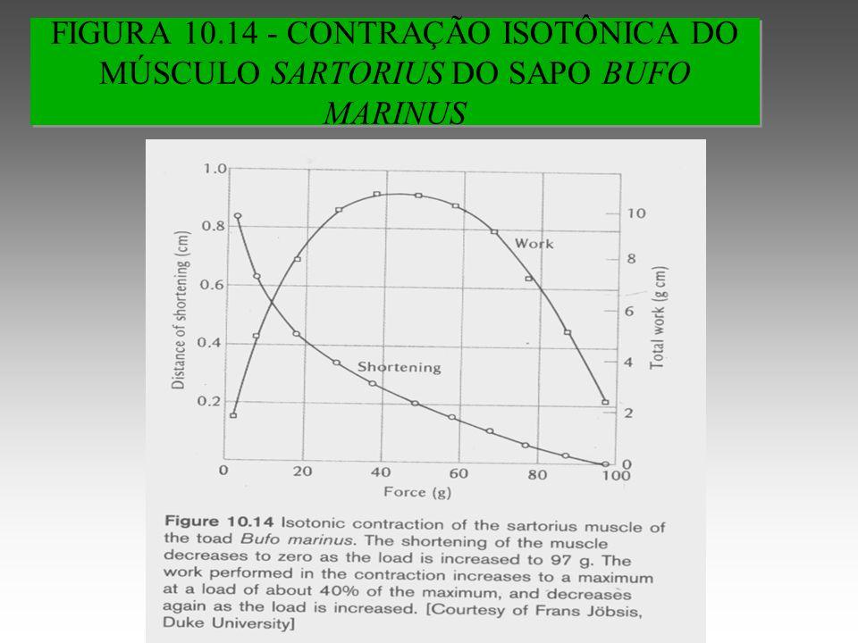 FIGURA 10.14 - CONTRAÇÃO ISOTÔNICA DO MÚSCULO SARTORIUS DO SAPO BUFO MARINUS