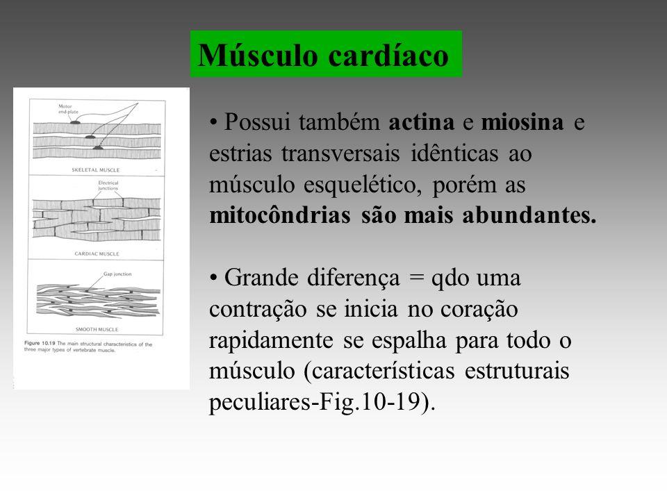 Músculo cardíaco Possui também actina e miosina e