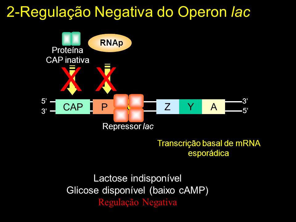 X 2-Regulação Negativa do Operon lac Z Y A P O CAP