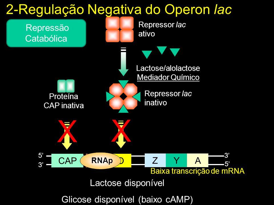 X X 2-Regulação Negativa do Operon lac Repressão Catabólica Z Y A P O