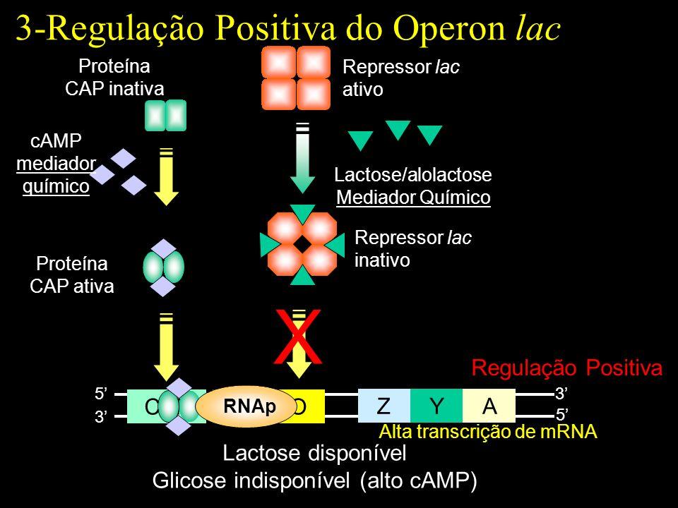 X 3-Regulação Positiva do Operon lac Regulação Positiva Z Y A P O CAP