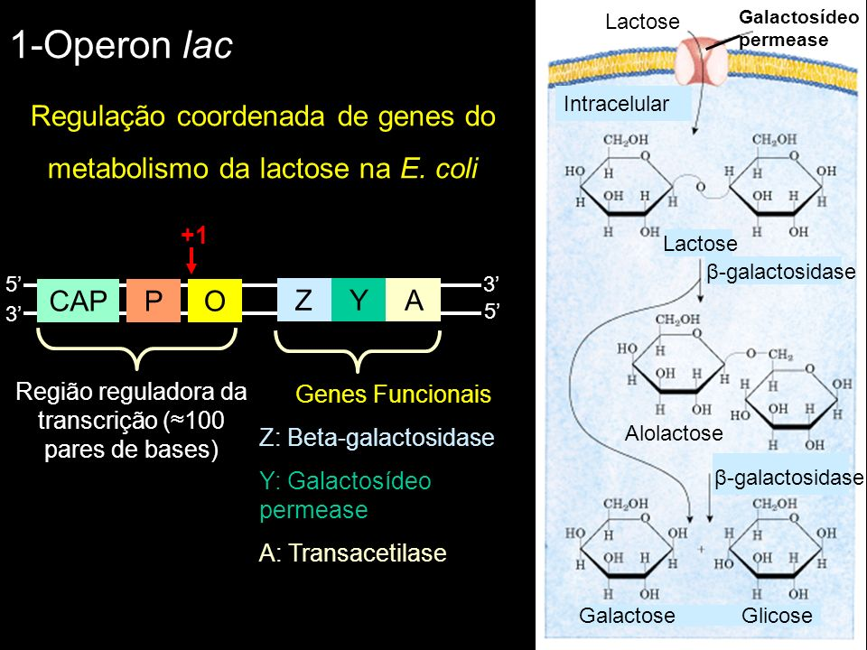 1-Operon lac Regulação coordenada de genes do