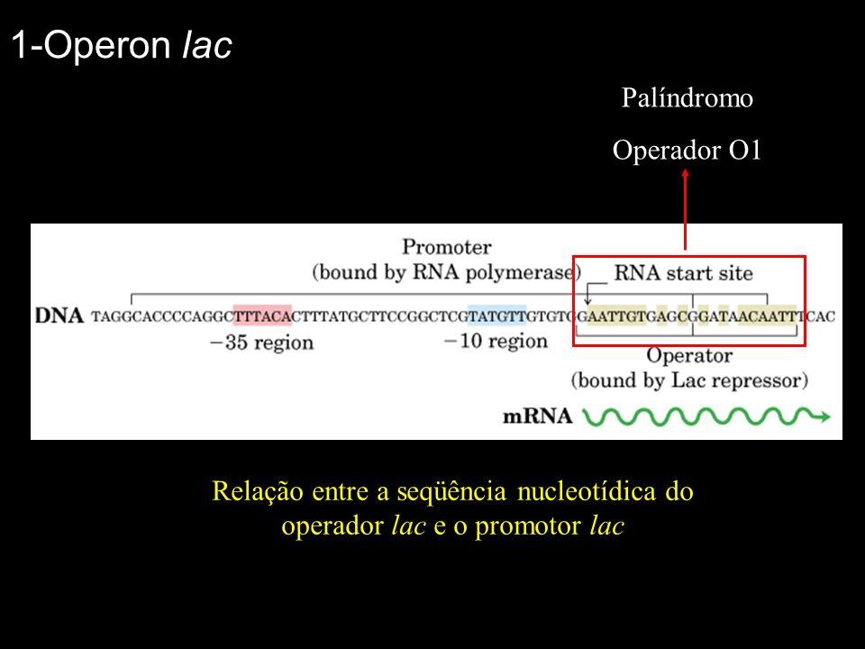 1-Operon lac Palíndromo Operador O1