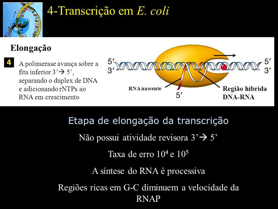 4-Transcrição em E. coli Elongação Etapa de elongação da transcrição