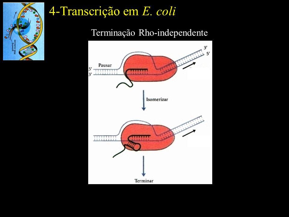 4-Transcrição em E. coli Terminação Rho-independente
