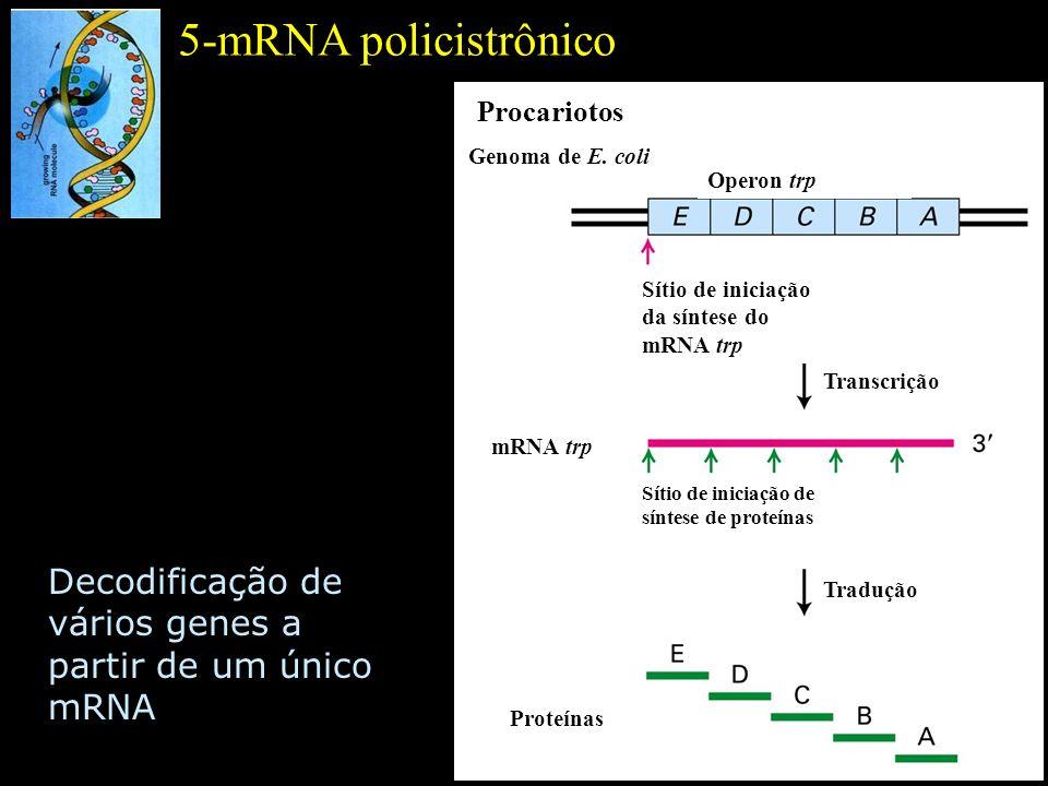 5-mRNA policistrônico Procariotos. Genoma de E. coli. Operon trp. Sítio de iniciação da síntese do mRNA trp.