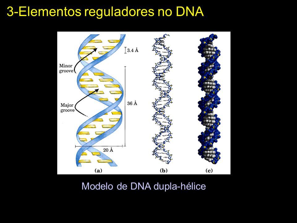 Modelo de DNA dupla-hélice