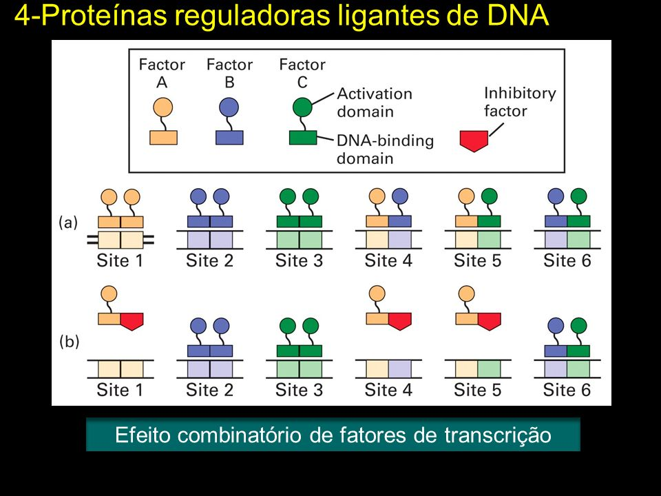 Efeito combinatório de fatores de transcrição