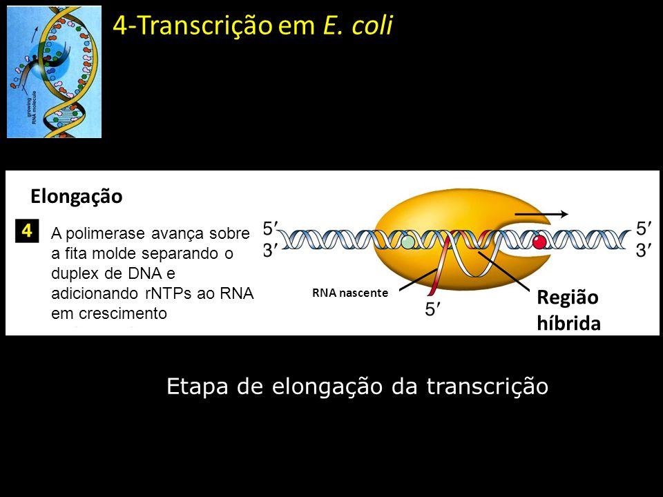 Etapa de elongação da transcrição