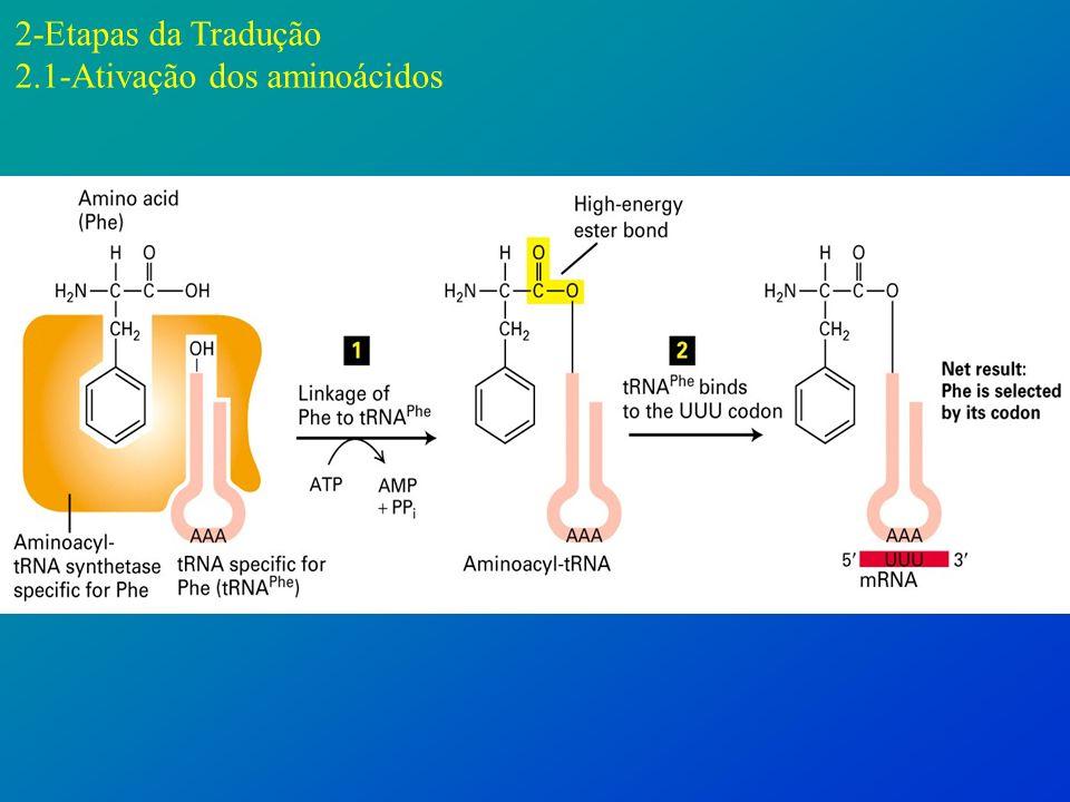 2-Etapas da Tradução 2.1-Ativação dos aminoácidos