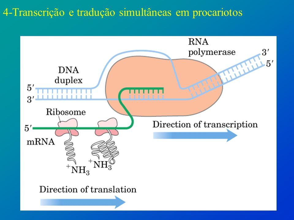 4-Transcrição e tradução simultâneas em procariotos