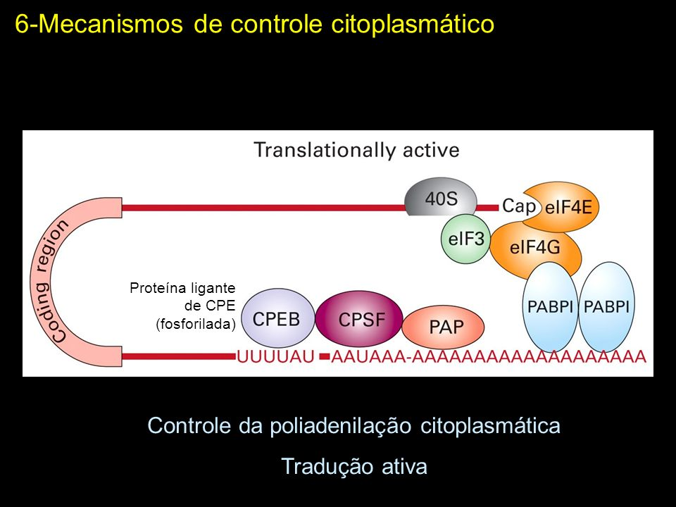 Controle da poliadenilação citoplasmática