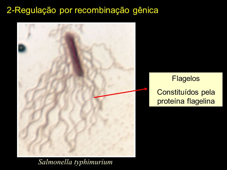 2-Regulação por recombinação gênica