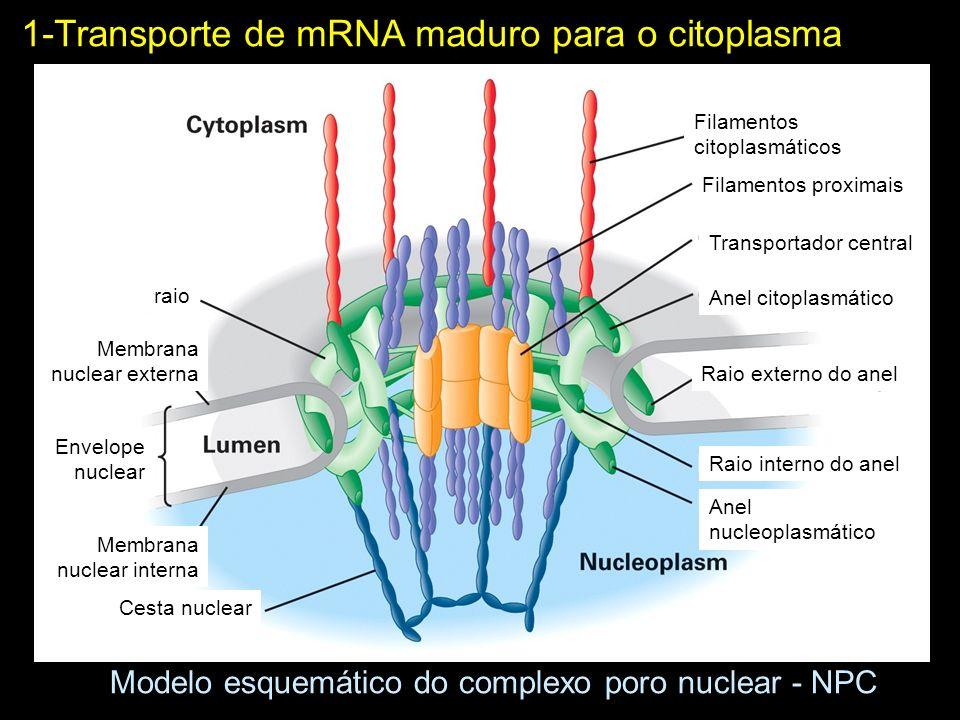 Modelo esquemático do complexo poro nuclear - NPC