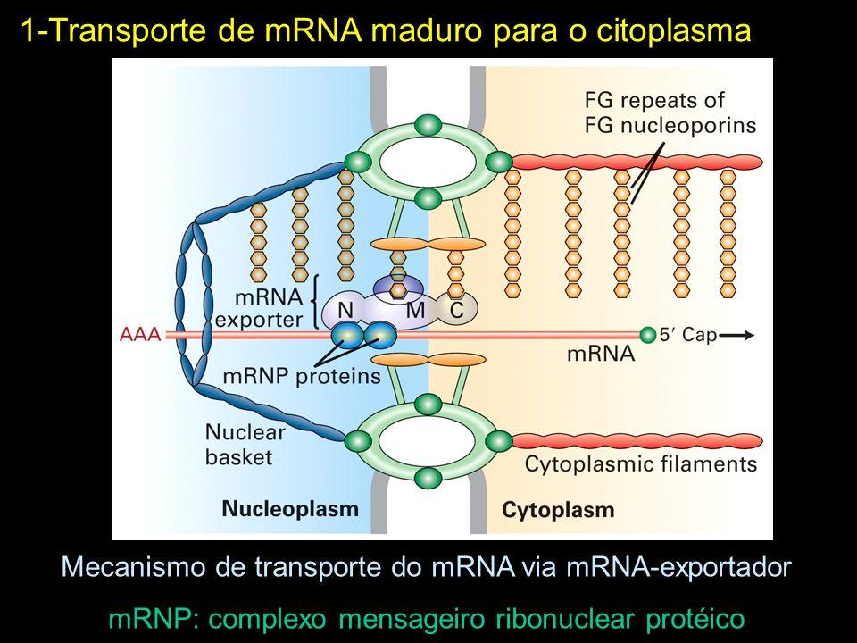 1-Transporte de mRNA maduro para o citoplasma