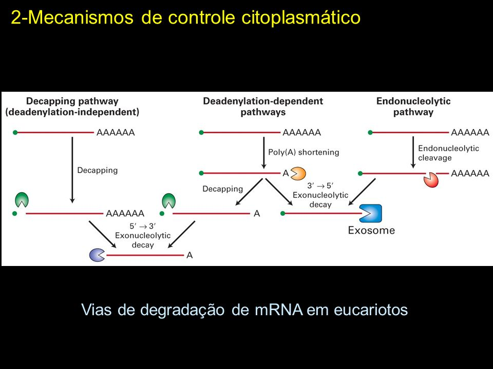 Vias de degradação de mRNA em eucariotos