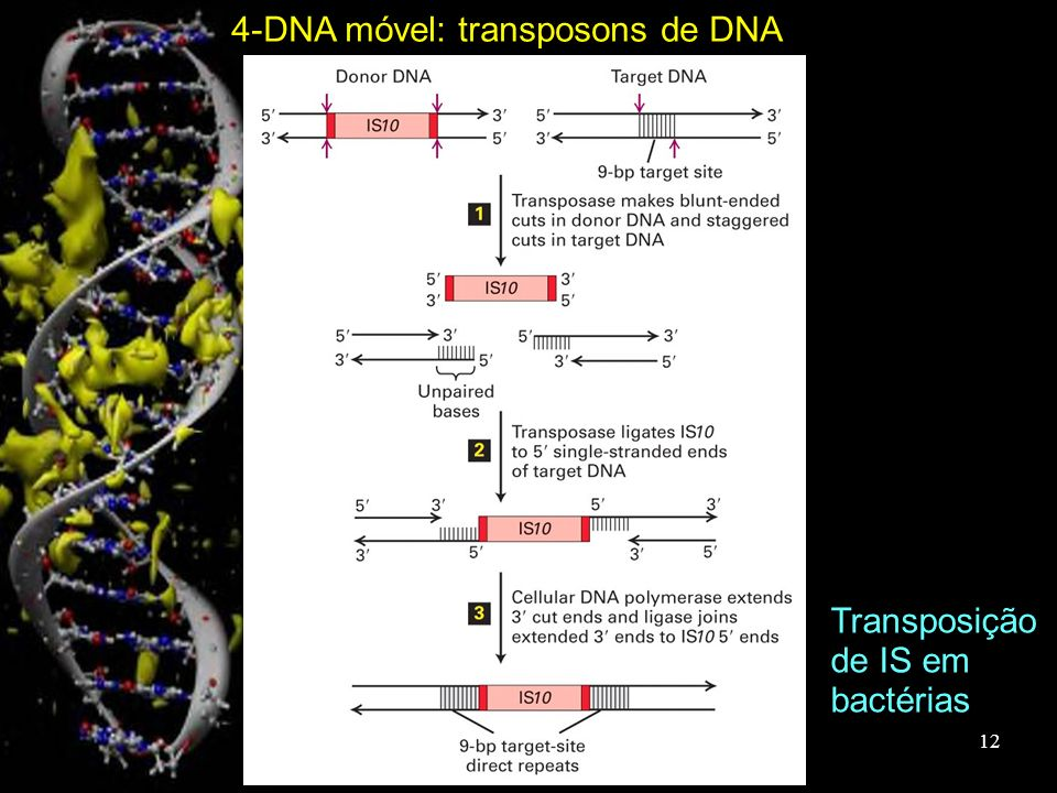 4-DNA móvel: transposons de DNA