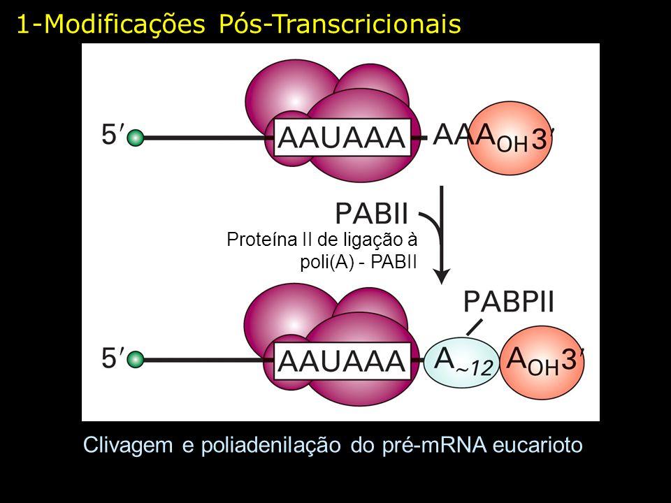 Clivagem e poliadenilação do pré-mRNA eucarioto