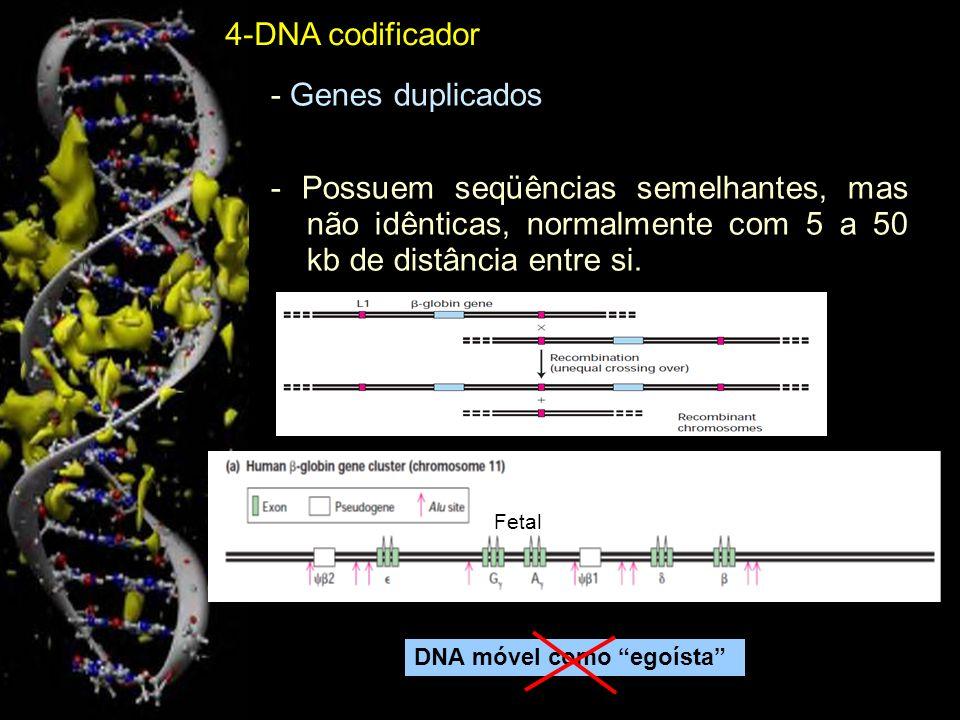 4-DNA codificador - Genes duplicados