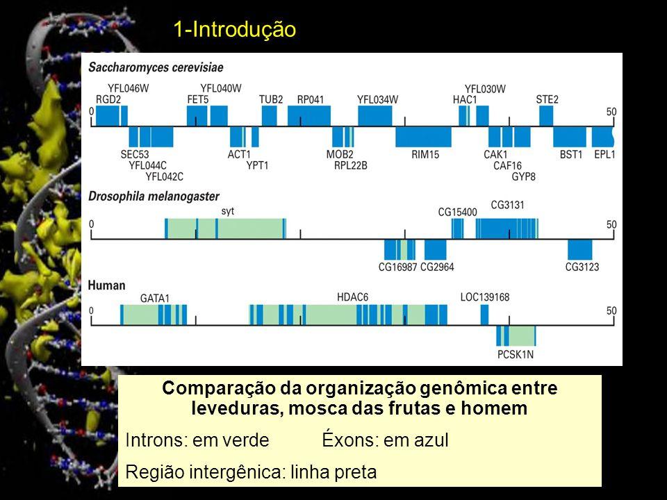 1-IntroduçãoComparação da organização genômica entre leveduras, mosca das frutas e homem. Introns: em verde Éxons: em azul.