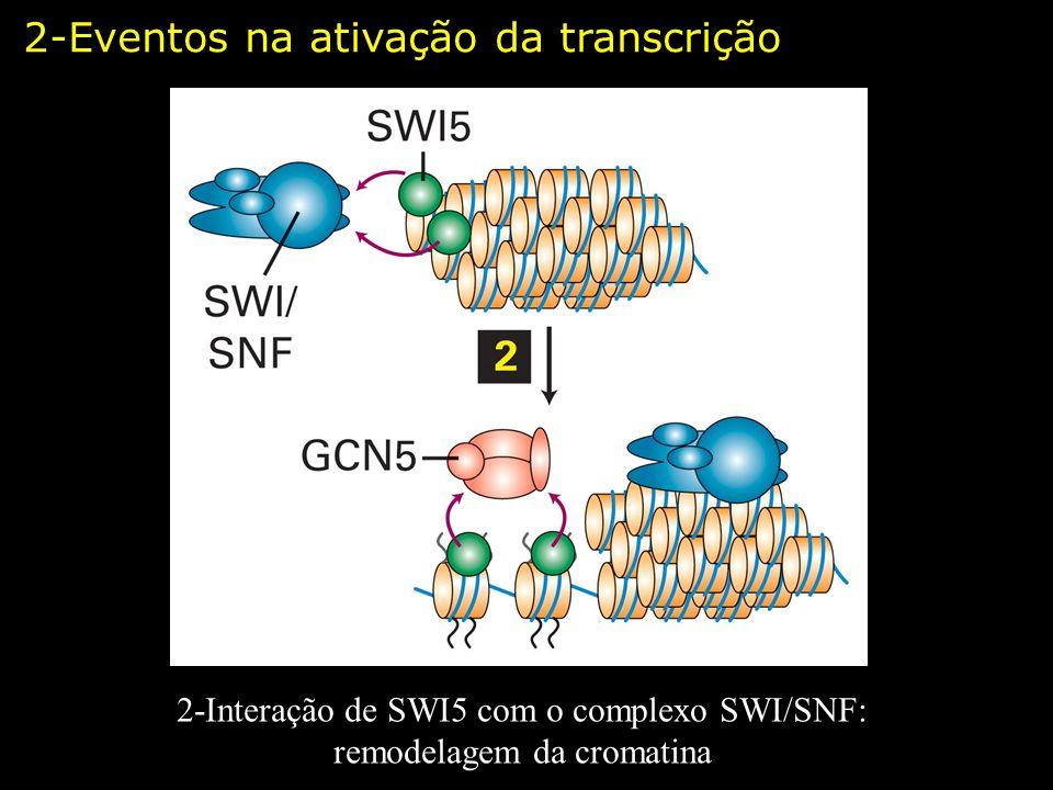 2-Interação de SWI5 com o complexo SWI/SNF: remodelagem da cromatina