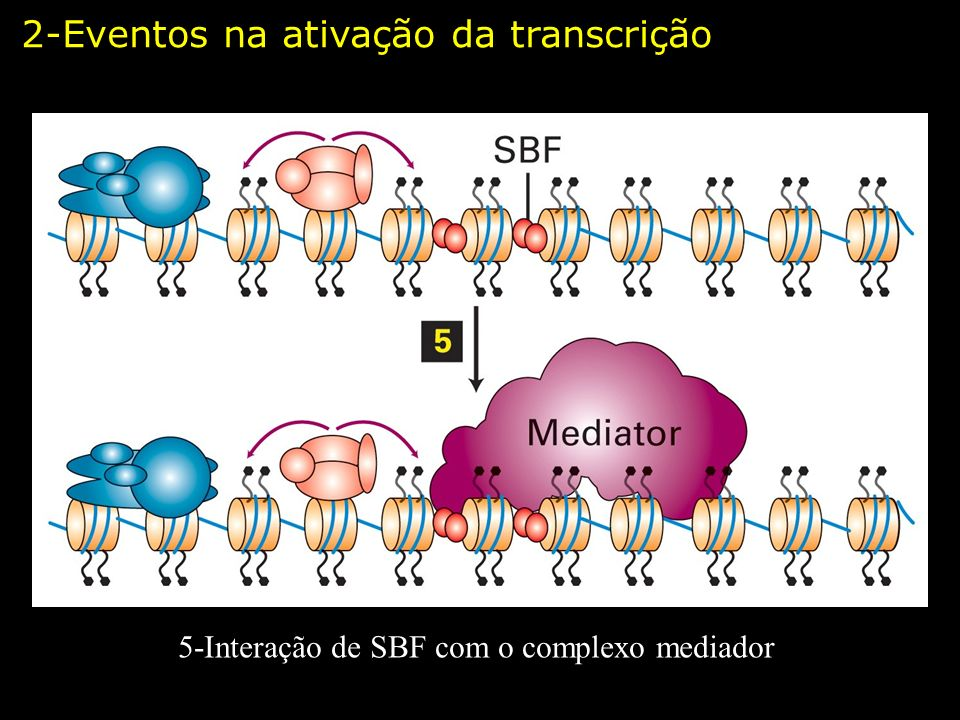 5-Interação de SBF com o complexo mediador