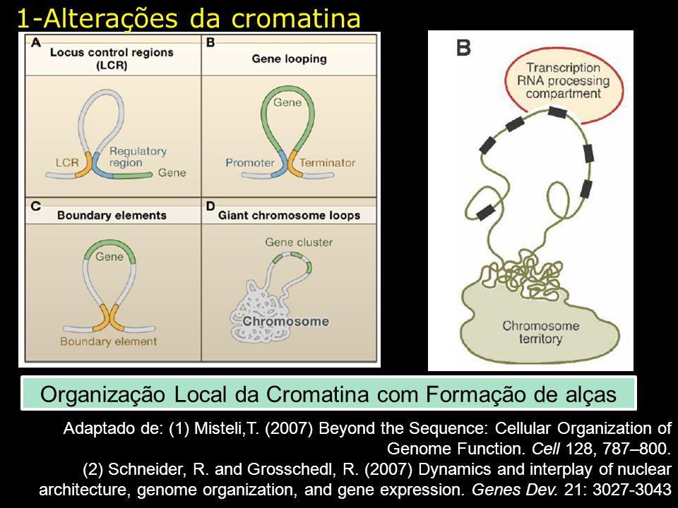 Organização Local da Cromatina com Formação de alças