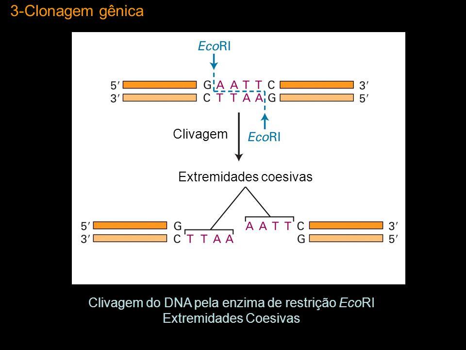 3-Clonagem gênica Clivagem Extremidades coesivas