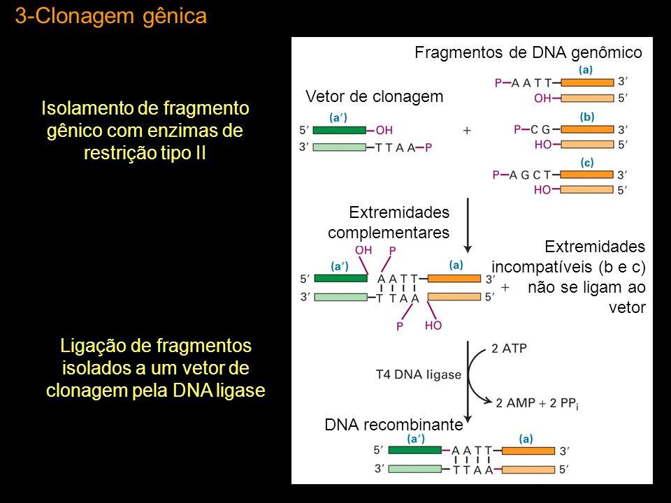 3-Clonagem gênica Fragmentos de DNA genômico. Extremidades complementares. Extremidades incompatíveis (b e c) não se ligam ao vetor.