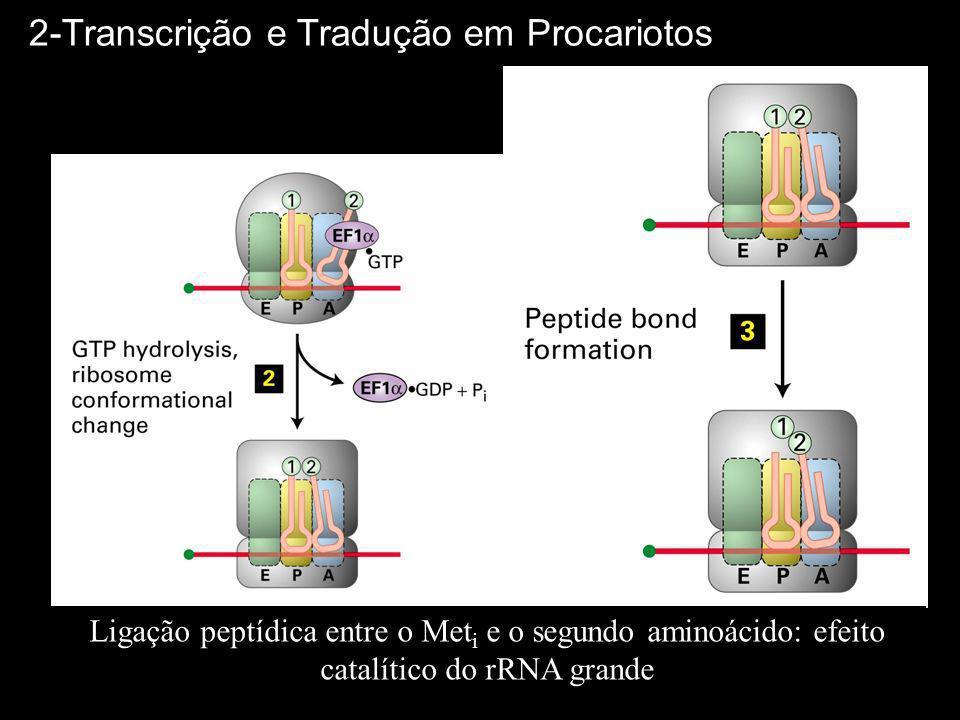 2-Transcrição e Tradução em Procariotos