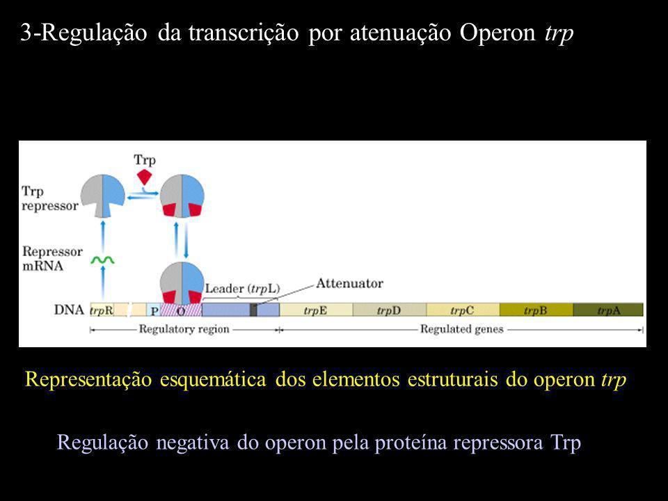 Representação esquemática dos elementos estruturais do operon trp