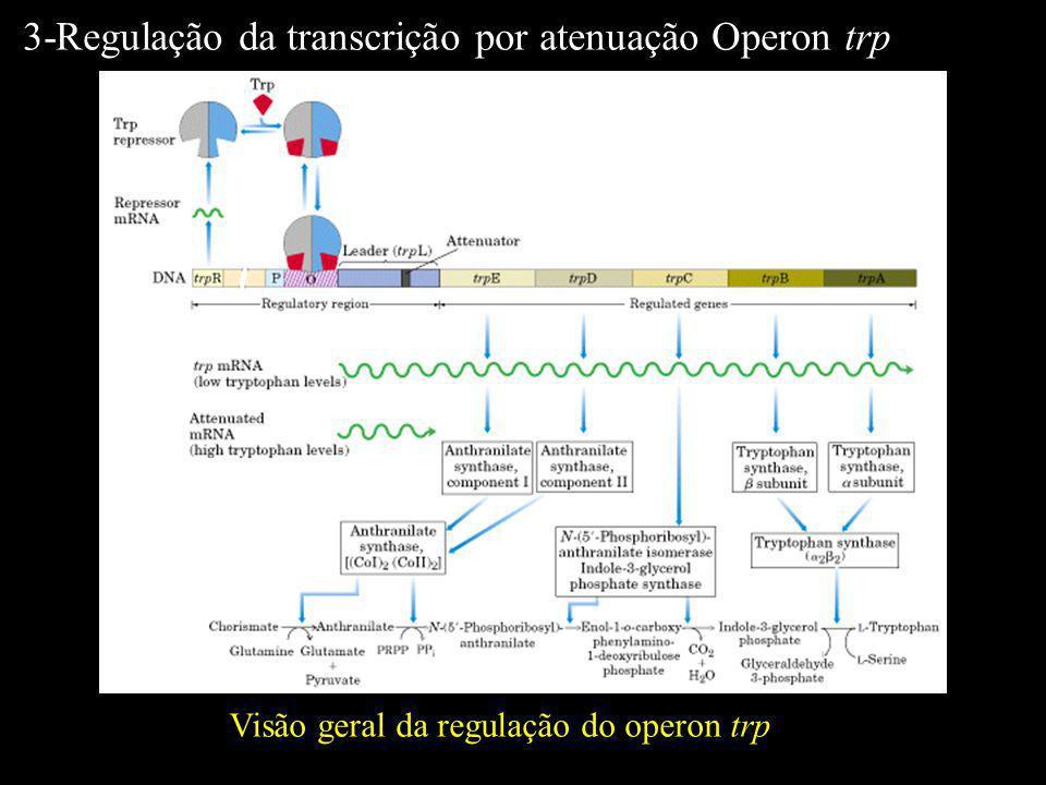 3-Regulação da transcrição por atenuação Operon trp
