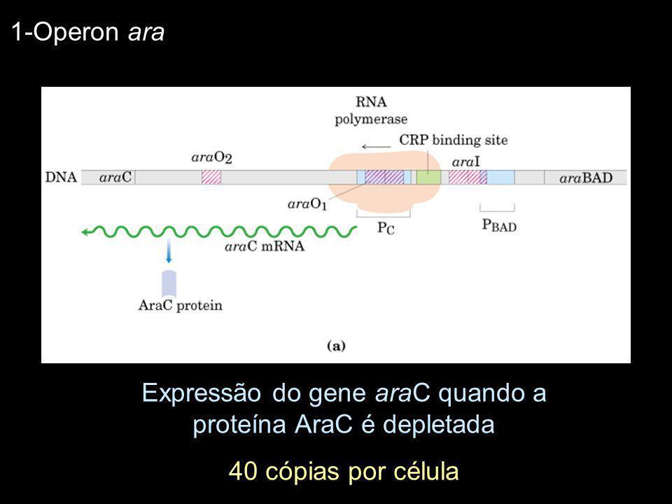 Expressão do gene araC quando a proteína AraC é depletada