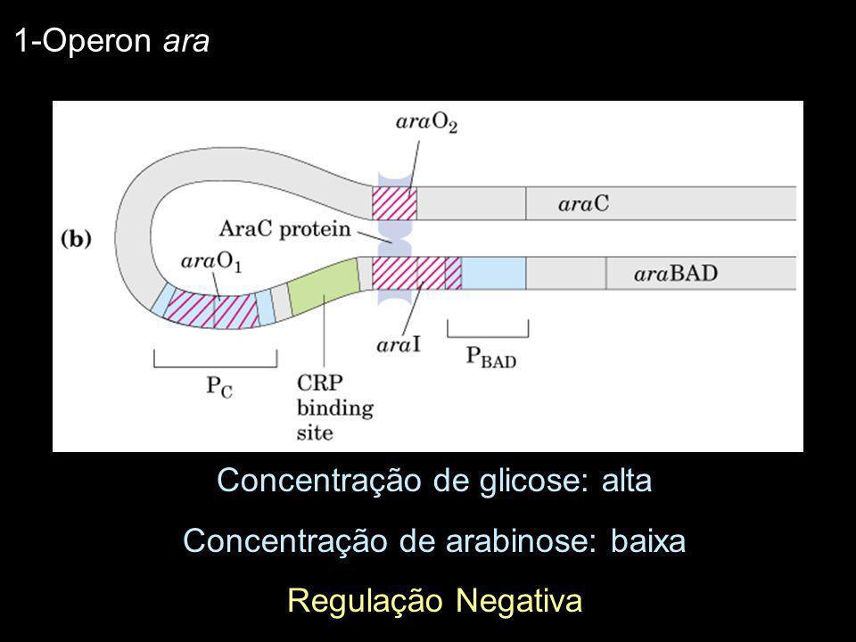 Concentração de glicose: alta Concentração de arabinose: baixa