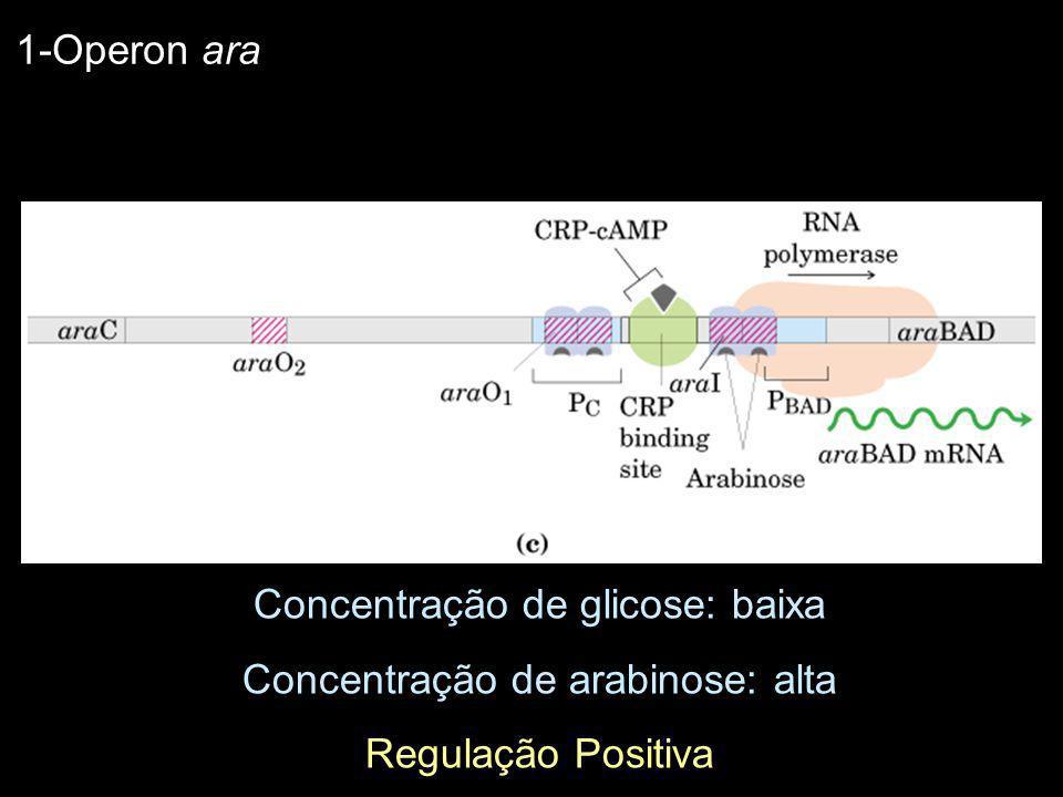 Concentração de glicose: baixa Concentração de arabinose: alta