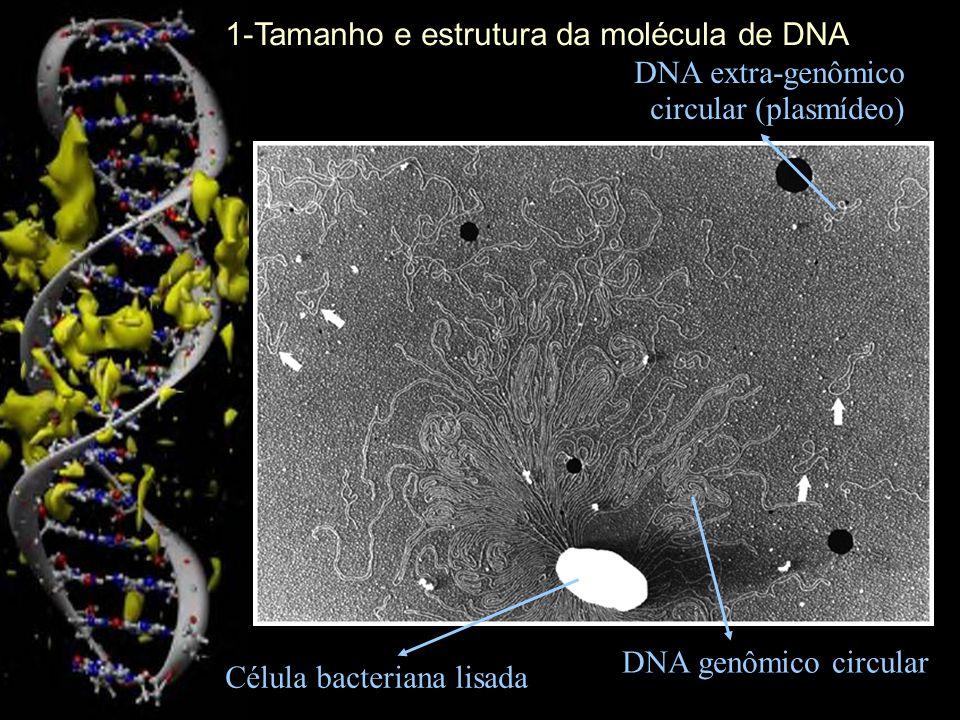 1-Tamanho e estrutura da molécula de DNA