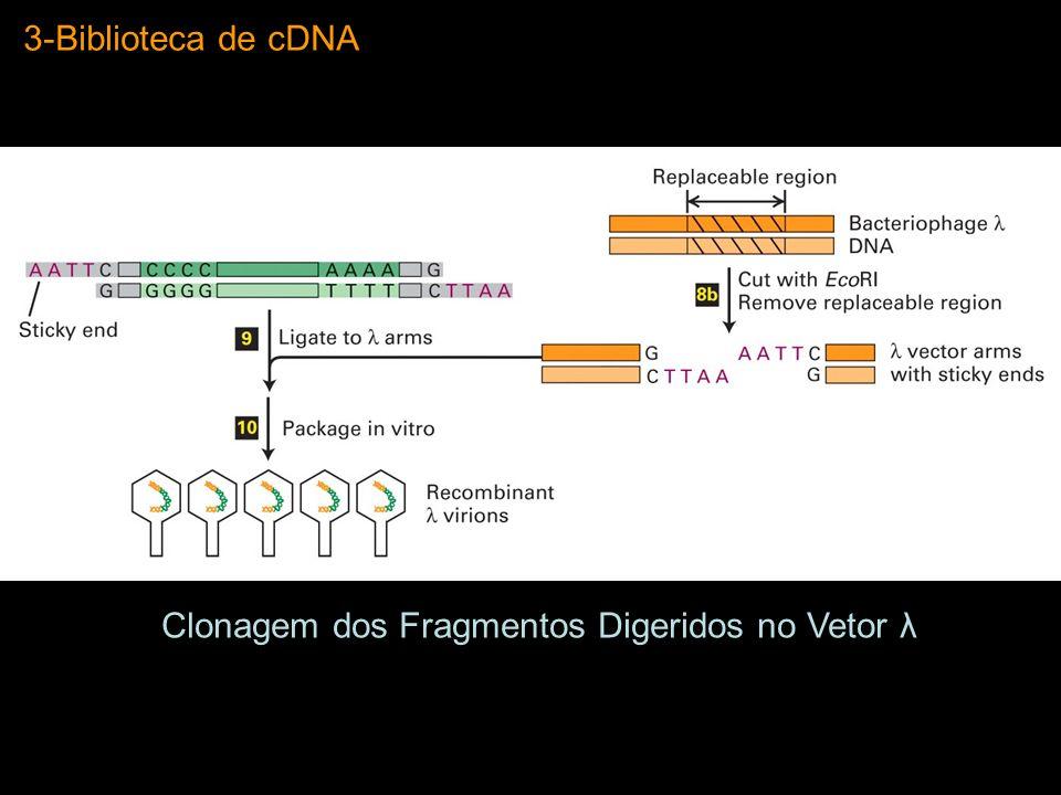 Clonagem dos Fragmentos Digeridos no Vetor λ