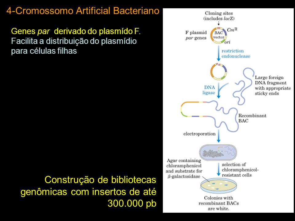 4-Cromossomo Artificial Bacteriano