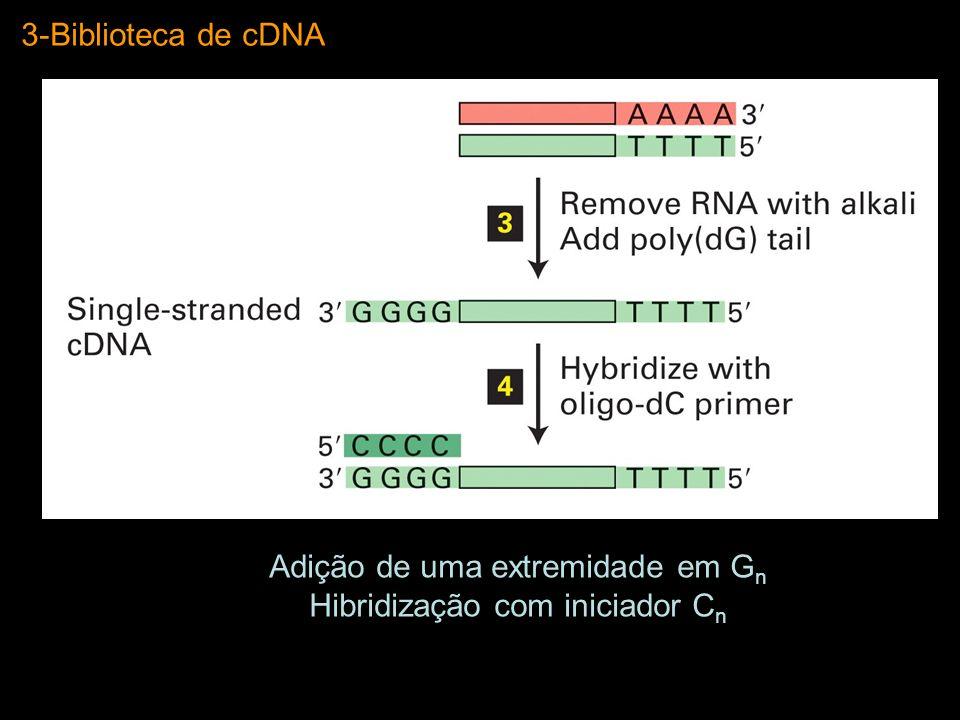 Adição de uma extremidade em Gn Hibridização com iniciador Cn