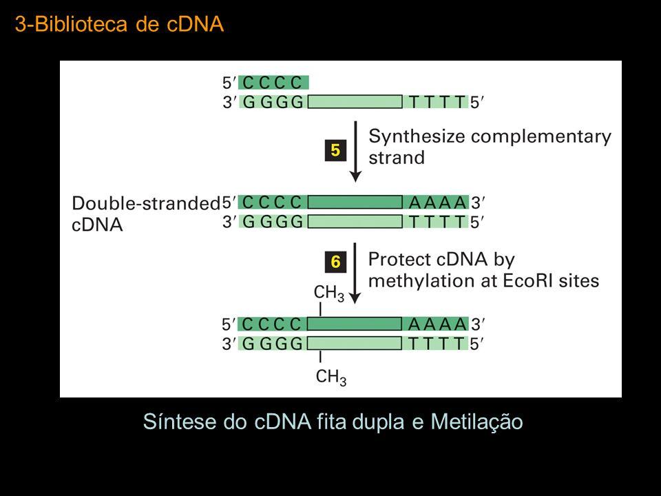 Síntese do cDNA fita dupla e Metilação