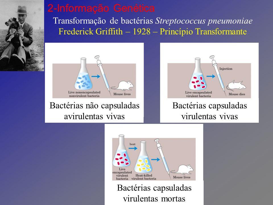 2-Informação Genética Transformação de bactérias Streptococcus pneumoniae Frederick Griffith – 1928 – Princípio Transformante.