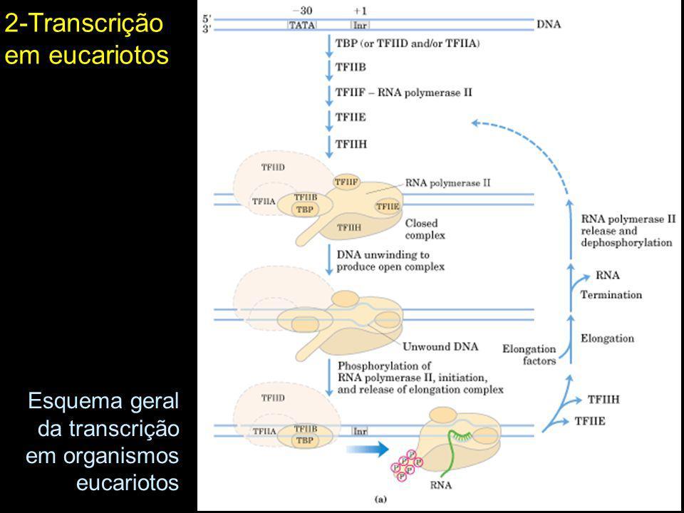 2-Transcrição em eucariotos