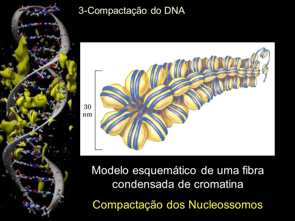 Modelo esquemático de uma fibra condensada de cromatina