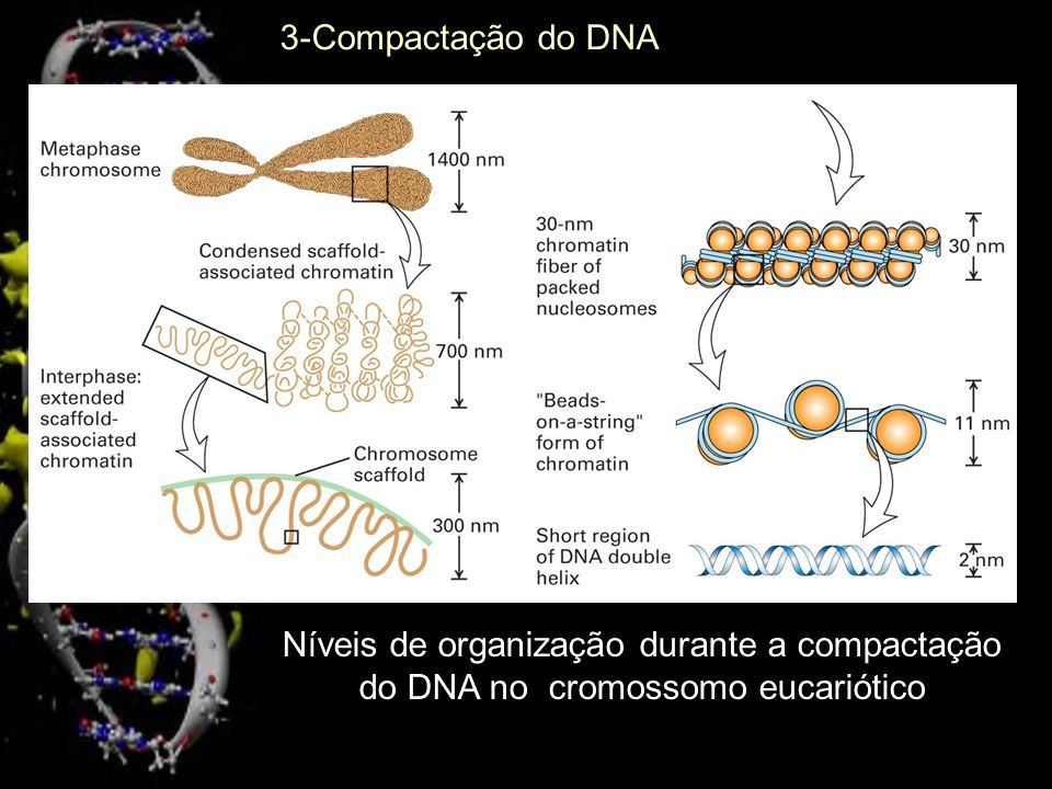 3-Compactação do DNA Níveis de organização durante a compactação do DNA no cromossomo eucariótico