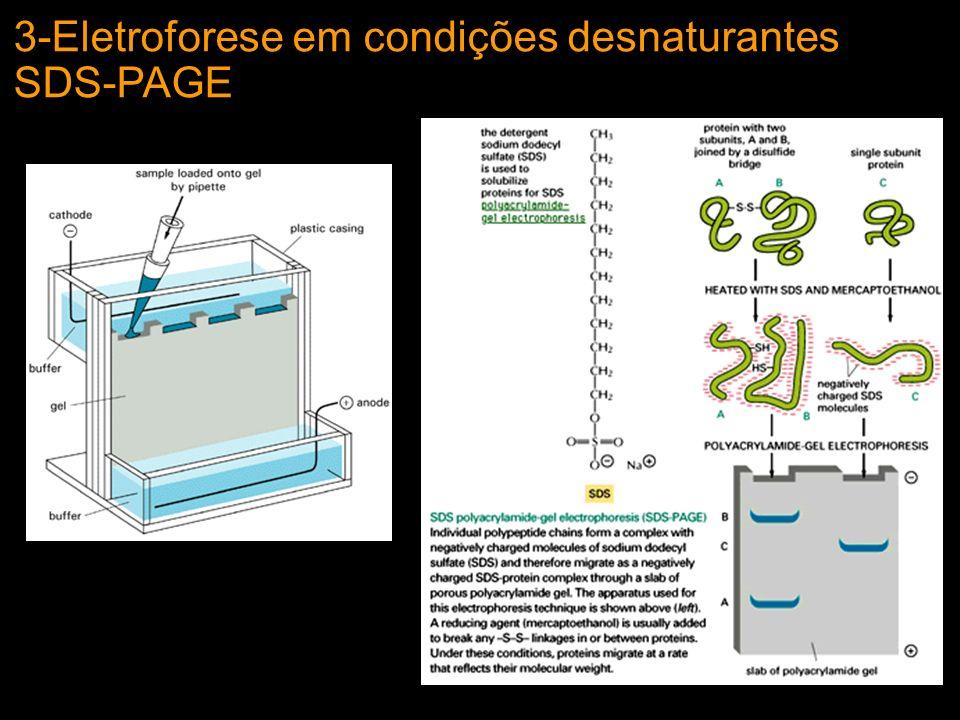 3-Eletroforese em condições desnaturantes SDS-PAGE