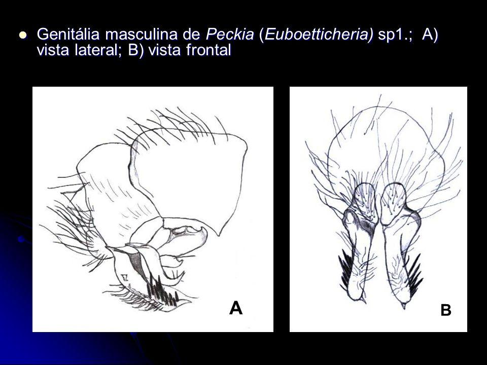 Genitália masculina de Peckia (Euboetticheria) sp1