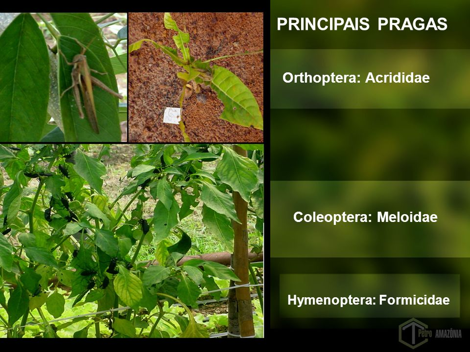 PRINCIPAIS PRAGAS Orthoptera: Acrididae Coleoptera: Meloidae