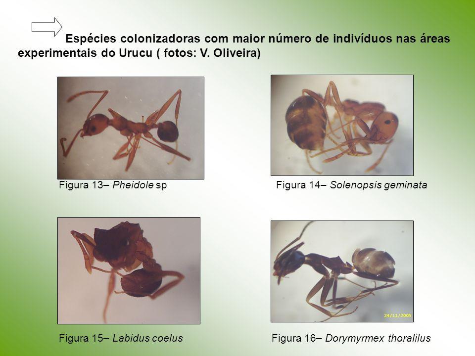 Espécies colonizadoras com maior número de indivíduos nas áreas experimentais do Urucu ( fotos: V. Oliveira)