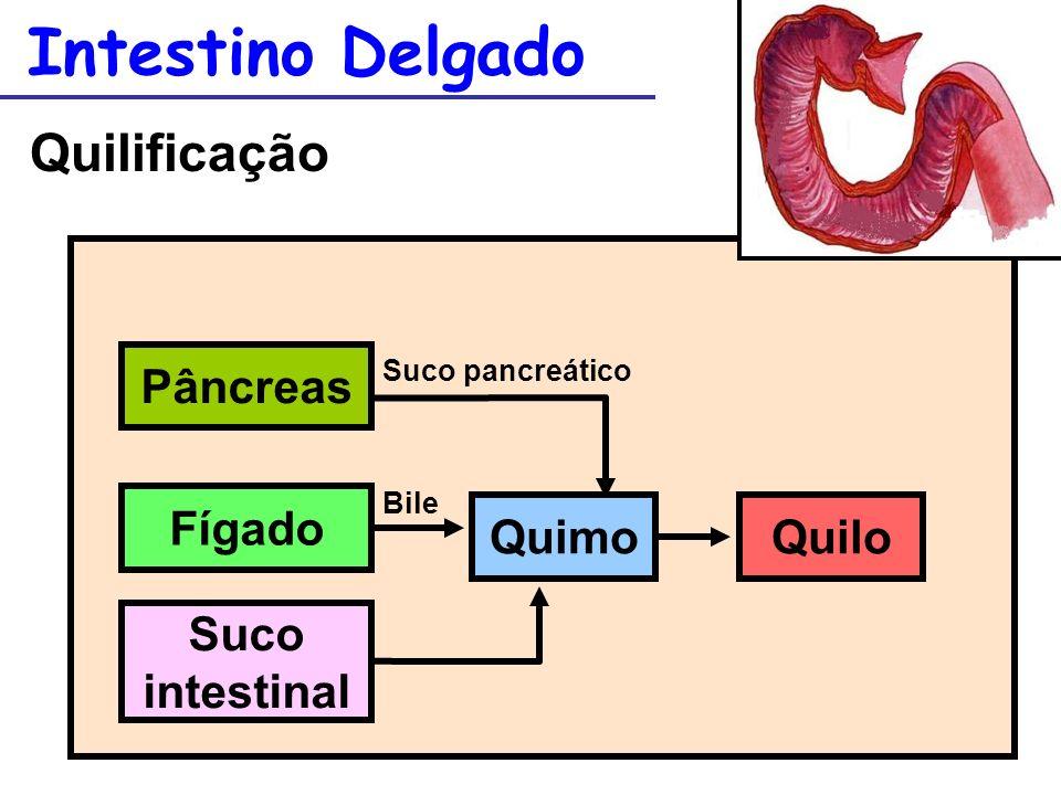 Intestino Delgado Quilificação Pâncreas Fígado Quimo Quilo Suco